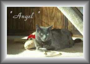 My Russian Blue Angel