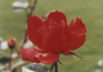 Jodi's Irish Rose